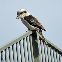 watching kookaburra (suzlil) Tags: kookaburra