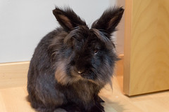 Kobinejo (san_rules) Tags: conejo bunny rabit sonya5000 sonyilce5000 black