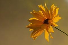 Sunny and misty (joeke pieters) Tags: 1300660 panasonicdmcfz150 bloem flower fleur blume geel yellow gelb jaune mist bokeh ngc npc platinumheartaward