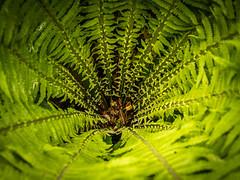 Farn (olipennell) Tags: botanischergarten farn mnchen nymphenburg pflanze