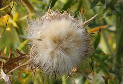 Thistle Seed Head 160816 (1) (Richard Collier - Wildlife and Travel Photography) Tags: naturalhistory flora flowers flowersenglishflowers flowerheads seedhead macro thistle