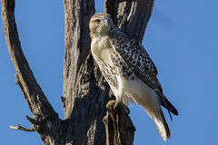 Red Tail Hawk (carlson322) Tags: nj wildlife nature redtailedhawk greatswampnwr canon raptor greatswamp birds