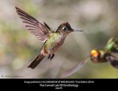 Proud (Arturo Nahum) Tags: cornell ornothology sephanoidessephaniodes birdwatcher bird wild chile animal aves pajaros hummingbird