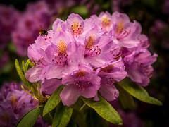 Rhododendron-10 (olipennell) Tags: blte botanischergarten mnchen nymphenburg pflanze rhododendron bayern deutschland de
