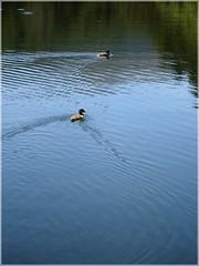 Pareja de aves salvajes. (margabel2010) Tags: estanque estanques presa presas agua aguadulce animales aves patos reflejos naturaleza sierra guadarrama nades azul