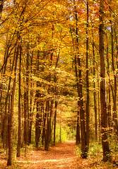 Golden Trail (flashfix) Tags: october152016 2016 2016inphotos nikond7000 nikon ottawa ontario canada 55mm300mm merbleue panorama trees autumn nature mothernature leaves yellow gold fall landscape