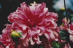 pink nature (omnia_mutantur) Tags: flor flower fleur fiore rosa corderosa pink rose lione lyon francia frana parcdelattedor rhnealpes botanica botanique giardinobotanico jardinbotanique jardimbotnico jardnbotnico botanicalgarden