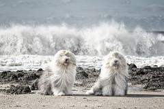 breaking waves (dewollewei) Tags: oldenglishsheepdog oldenglishsheepdogs oldenglishsheepsdog oes bobtail dewollewei sophieandsarah sophieensarah ameland waves beach waddeneilanden wadden dogs honden