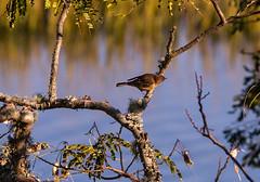 Examination (Gabriel FW Koch (fb.me/FWKochPhotography on FB)) Tags: bird songbird telephoto wild wildlife marsh tree mimosa water sun sunlight sunrise sunset nature eos dof canon sigma zoom bokeh