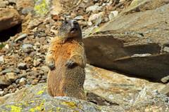 mit voller Aufmerksamkeit (Urschner Br) Tags: andermatt kturi mungg murmeltier oberalppass schweiz suisse suiza tiere uri urserental animales animals animaux marmot marmota marmotte switzerland mungg