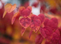 Autumn hearts (V Photography and Art) Tags: autumn leaves hearts colour red dof bokeh