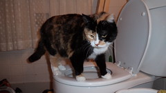 Autumn (universalcatfanatic) Tags: cats autumn tortoiseshell tortie calico orange black white cat stand standing top toilet bathroom bath room restroom rest washroom wash lace curtain curtains drink drinking water seat