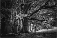 Old trees #1 (Wayne Interessiert's) Tags: nationalpark dehogeveluwe landschaft landscape paysage monochrome bw blackwhite black white langzeitbelichtung longtimeexposure longuedeexposition baum bume arbre wldchen smallwood bosquet