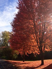red flush (Lady Goshen) Tags: autumn foliage color leaves harvest fall tree tres gold yellow orange red vermont