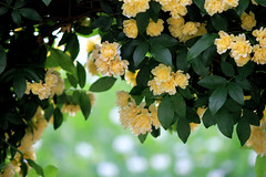 Gateway to the garden (tanakawho) Tags: plant flower texture nature yellow spring gate arch dof bokeh layer postproduction treatment banksiarose tanakawho skeletalmess