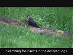 Pileated Woodpecker (artlessfun) Tags: bird kalama dryocopuspileatus pileatedwoodpecker artlessfun cowlitzcountywa mvi14831