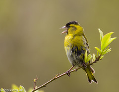 Noisy Siskin (Danny Gibson) Tags: male bird nature birds wildlife birding finch finches birdwatching birder avian siskin springwatch birdphotography siskins sigma50500mm canon7d dgpixorguk