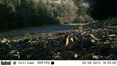 Another curious Robin (artlessfun) Tags: kalama americanrobin turdusmigratorius artlessfun cowlitzcountywa trailcamphotos