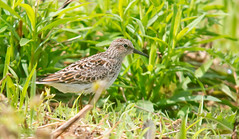 Least Sandpiper (cre8foru2009) Tags: birds sigma sandpiper least d800 shorebirds nkon