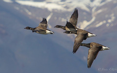 Brent Geese in Flight. (Jonas Ottos) Tags: black nature birds animals iceland spring wings bokeh wildlife flight akranes dr brentgeese brantabernicla fuglar canon7020028l margsir canoneos7d canonextender14x jonasottos jhophotography