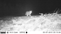 Nutmeg, the neighbors' cat (artlessfun) Tags: cat kalama artlessfun cowlitzcountywa trailcamphotos