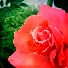 orange rose (paigeh) Tags: flower garden thegarden