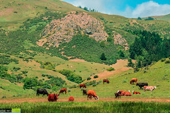Grazing Along the King Range (DoctorLove415) Tags: beautiful beauty northerncalifornia wow quiet peace cattle scenic peaceful serenity damn selfreflection serene lonely norcal picturesque humboldtcounty grazing soothing wideopenspace northcoast godscountry mattoleroad lostcoast kingrange mattole peaceofmind northerncaliforniacoast marinate northstate cattleranch ruggedterrain norcalcoast cattlegrazing wideopenfield humboldtcountycoast norcalphotographers cattleonthecoast kingmountainsrange
