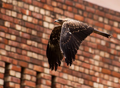 Flight (Karthik Prashanth) Tags: canon campus eos raw eagle flight sigma gurgaon 70300mm bif mdi lightroom 1000d