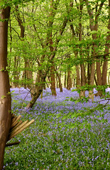 Day # 128. Through the trees (Harleycy3) Tags: flowers blue bluebells woods purple copse