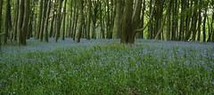 A Blue Carpet Premier (Derbyshire Harrier) Tags: bluebells spring derbyshire peakdistrict cropped beech bluecarpet 2013 cordwellvalley