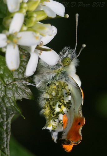 Orange tip butterfly - sadly deformed