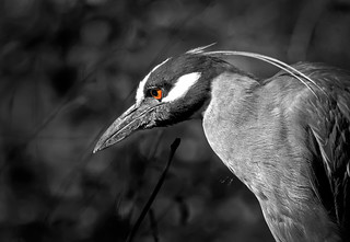 Yellow-crowned, black and white, Night Heron
