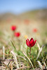 Tulipa doerfleri (macropoulos) Tags: red 500v20f greece 500v50f crete tulip 1000v100f wildflower topf100 gettyimages tulipa rethymno liliaceae amari liliales canoneos5d 1500v60f 1000v40f canonef100mmf28macrousm doerfleri giouskampos gettyimages:date_added=20130718