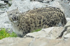 CHEEZ!!! (MrGuilt) Tags: cats animals cincinnati cincinnatizoo snowleopards afzoomnikkor3570mmf28d