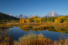 blazing ASPENS, at Oxbow Bend (laura's POV) Tags: autumn mountains fall nature water beauty river jackson snakeriver aspens rockymountains wyoming mountmoran tetons jacksonhole grandtetonnationalpark oxbowbend lauraspointofview lauraspov