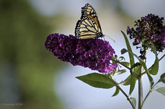 Monarch on a Flower (Greatest Paka Photography) Tags: monarch butterfly insect lepidoptera pacificgrove centralcalifornia nature sanctuary montereypeninsula monterey carmel migration habitat flower eucalyptus monarchgrovesanctuary beauty outdoor color