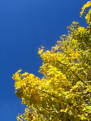 ASM (Grand-Papp, charrette...) Tags: automne humour acer arbre auvergne rable asm massifcentral hauteloire margeride hautesterres lobe marjarida
