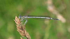 White-legged Damselfly - Male (jaytee27) Tags: whiteleggeddamselflymale naturethroughthelens