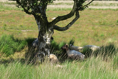 Some sheep chilling in the shadow of a big tree (lique1304) Tags: tree nature grass canon sheep outdoor nederland groningen thm westerwolde wilderniss treemendoustuesday