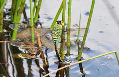 Female Emperor Dragonfly (tsbl2000) Tags: emperordragonfly dragonfly oldlodge sussexwildlifetrust ashdownforest nikond810 tamron150600mm naturethroughthelens