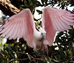 Spoonful of Sugar (PelicanPete) Tags: roseatespoonbill adult plataleaajaja wadingbird colorful wingspan florida northernflorida usa nature wildlife beauty natural aviancapture rose saintaugustineflorida necoast profile comical 230mm handheld graceful pose eyecontact branches treetop roseyoga outdoor summer2016 wild inthewild stretching trees pines sunlit bluesky redeye unitedstates color pinkwingspan thinkpink spoonfulofsugar pink avianexcellence dmslair specanimal
