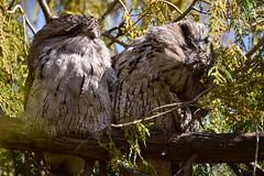 Got an itch (Luke6876) Tags: tawnyfrogmouth frogmouth bird animal wildlife australianwildlife