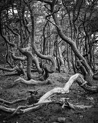 Norra land XIII (Gustaf_E) Tags: forest kvll landscape landskap norra pine pines skog sverige sweden tall trollskogen vr woods land