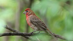 House finch (ricmcarthur) Tags: haemorhousmexicanus finch housefinch bird yard rondeau nature ricmcarthur rickmcarthur rondeauric