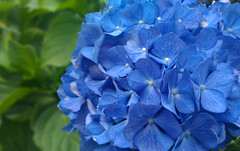 Ortensia (Marty_0722) Tags: fiore fiori flowers flower blu blue nature natura lovely