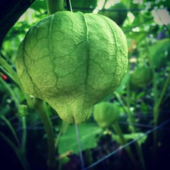 Tomatillo (matthewkaz) Tags: instagramapp square squareformat iphoneography uploaded:by=instagram xproii tomatillo garden homegrown gardening home house summer burcham eastlansing michigan 2016