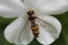 Enjoying hoverfly (gelein.zaamslag) Tags: holland nederland netherlands zeeland zeeuwsvlaanderen insects insecten insect natuur nature nikon nikond5000 macro zweefvlieg hoverfly geleinjansen