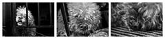 Adis, pequea. (Loida CriadoMore) Tags: animales tristeza perro blanco y negro muerte princesa pequea reto cincuenta dos semanas turco perrodeagua compaera fiel loidacriadomore animals sadness dog black white death princess little challenge fiftytwoweeks turkish waterdog partner faithful