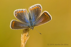 Common Blue - Female (Ausha De Silva) Tags: 2016 commonblue inverness femalecommonblue butterfly lepidoptera highlands