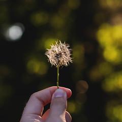 hawksbeard blowball (kopfleuchten) Tags: nature closeup flower blowball hawksbeard pippau pusteblume outdoor